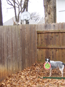 January 2010 - Diamond's first encounter with our neighborhood opossum.